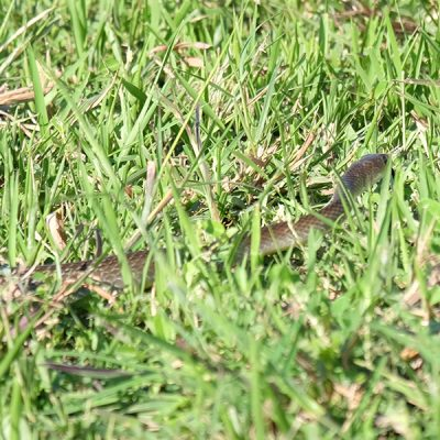Rat Snake-Step Not