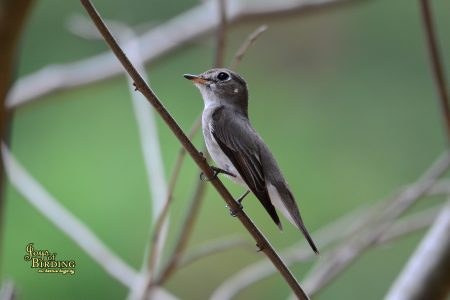 Asian Brown-Flycatcher