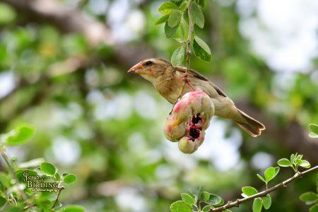 Asian Golden Weaver (Female)