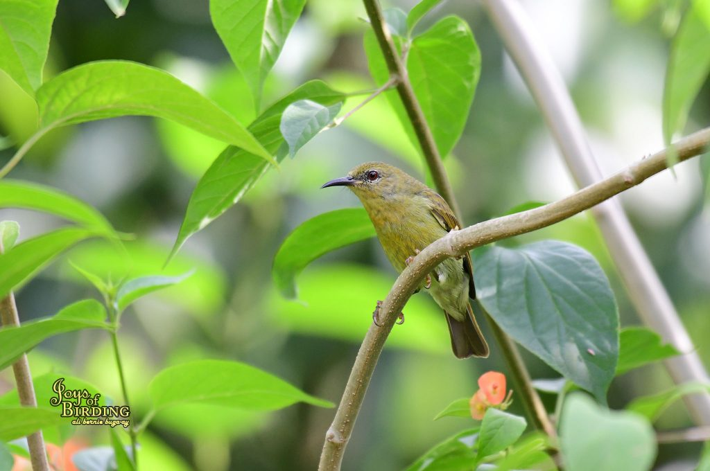 brown-throated-sunbird-female