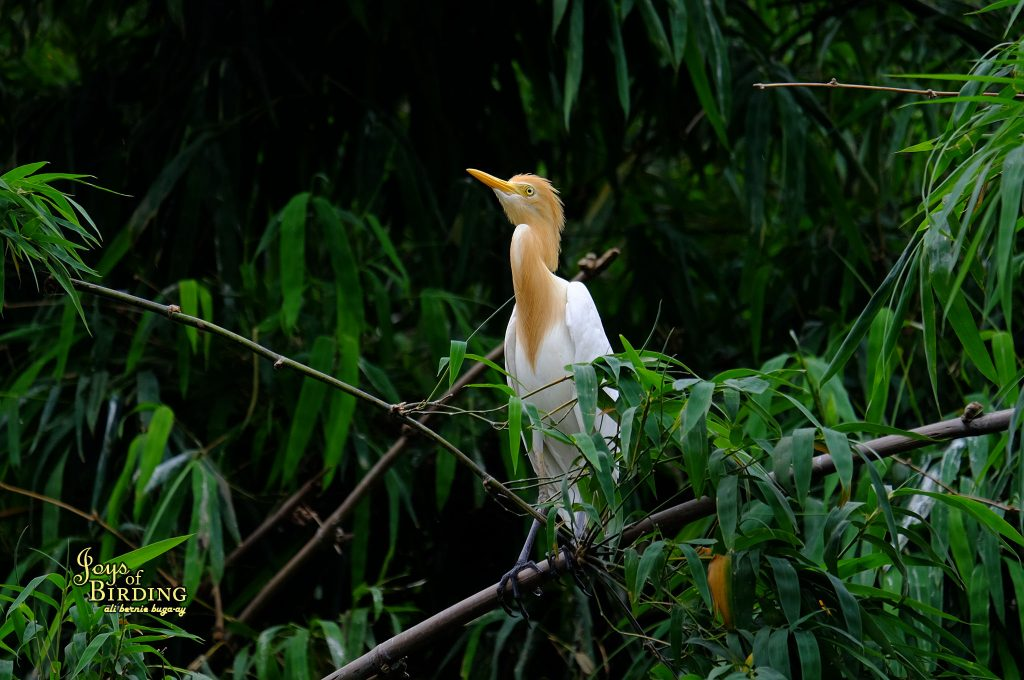 cattle-egret