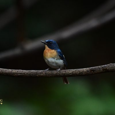 Hill-Bue Flycatcher