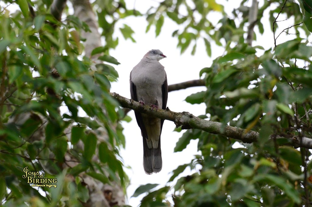 mountain-imperial-pigeon