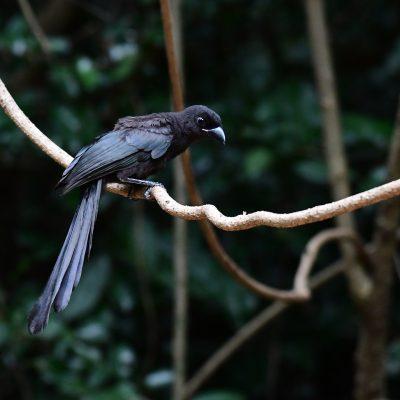 Racket-tailed Treepie