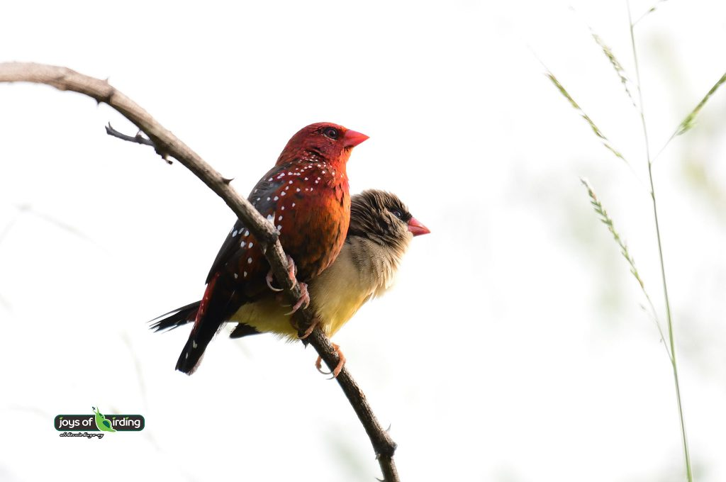 red-avadavat-couple