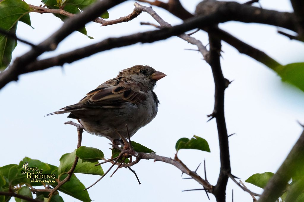 sparrow-nepal-done