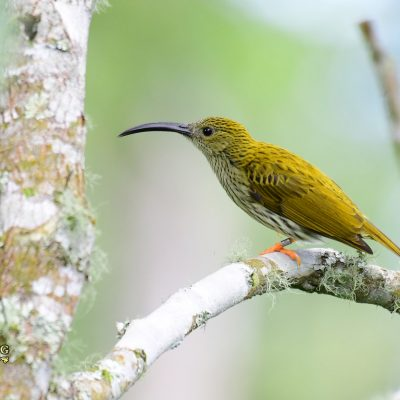 Streaked Spiderhunter