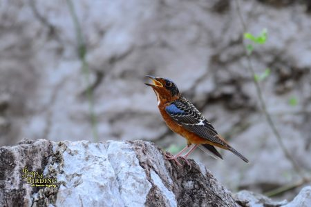 White-Throated Rockthrush