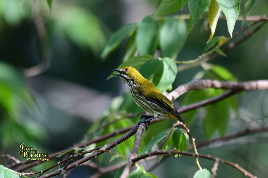 yellow-vented-flowerpecker