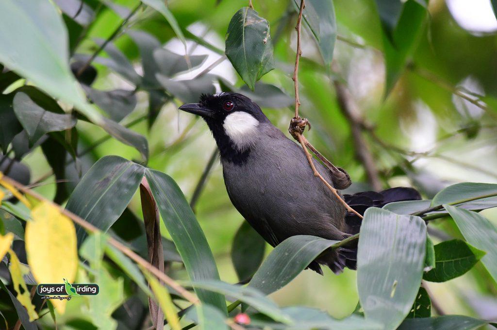 black-throated-laughingthrush