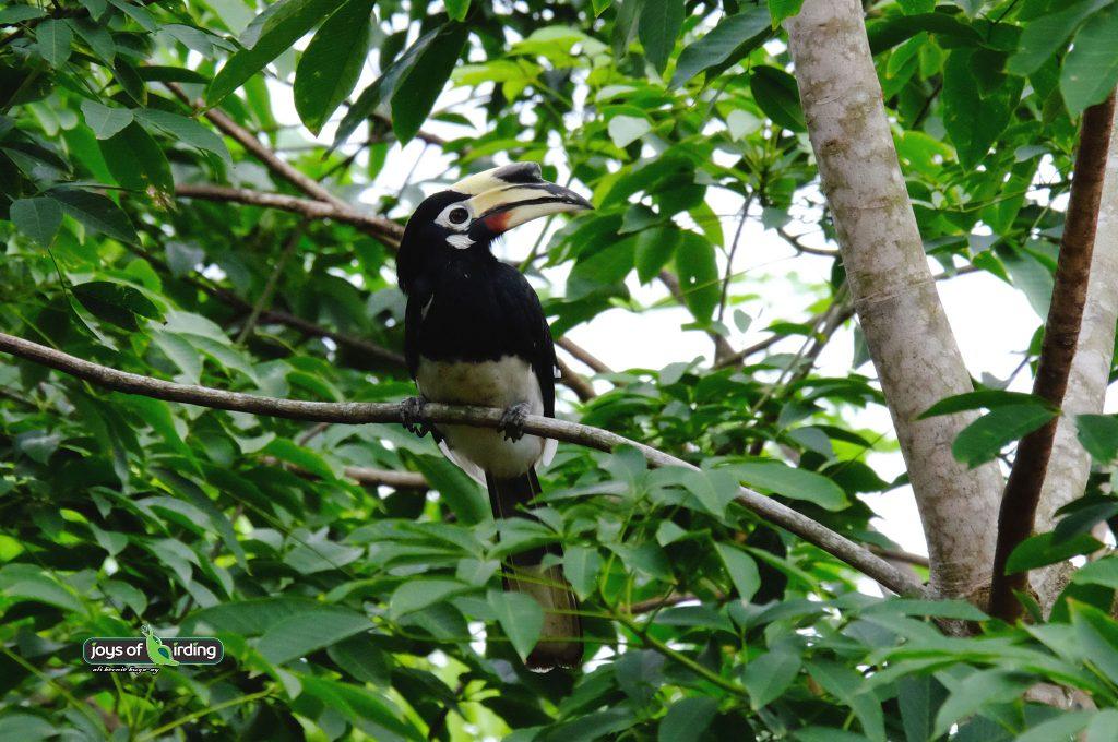 oriental-pied-hornbill