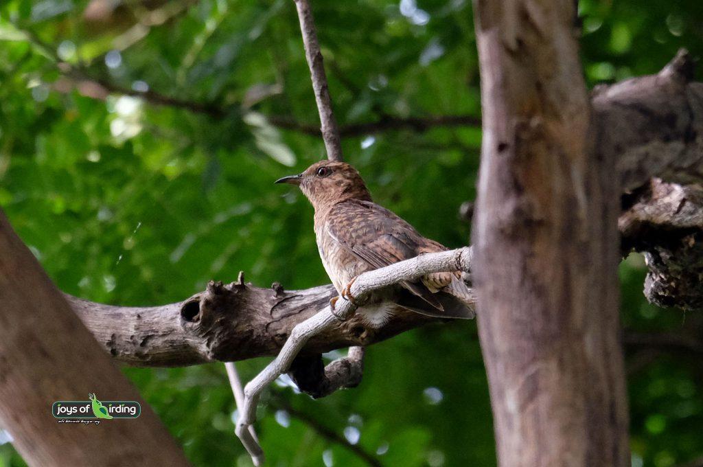 plaintive-cuckoo