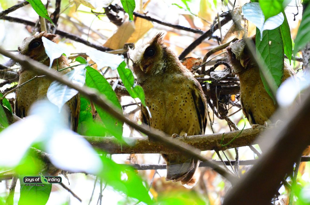 white-fronted-scops-owl
