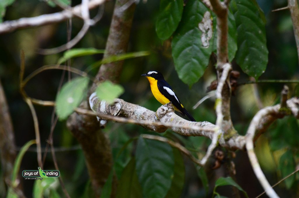 yellow-rumped-flycatcher