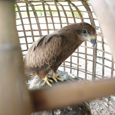 Pak Phli: Caged Raptor