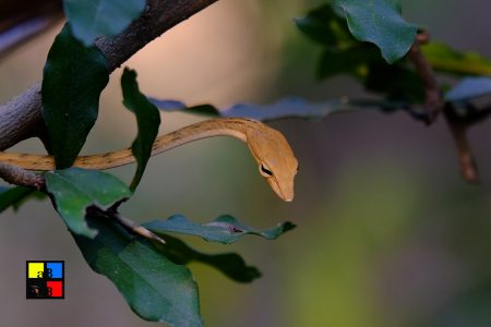 Yellow Ridged Tree Snake