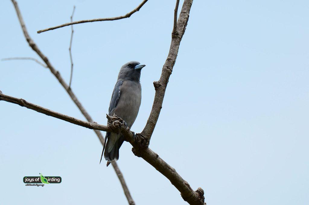 ashy-woodswallow