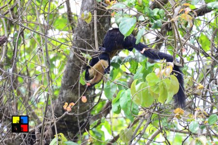 Black Giant Squirrel