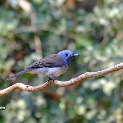 Black-naped Monarch (Female)