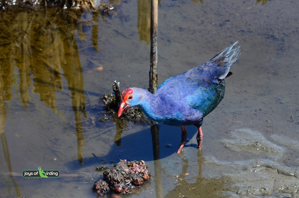 purple-swamphen