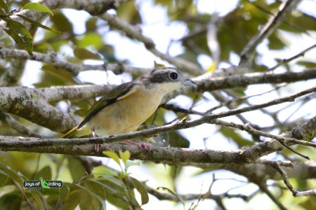 White-browed Shrike-babbler (female)