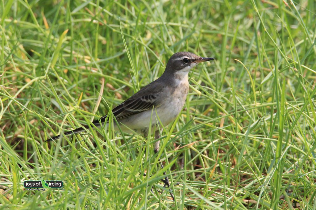 eastern-yellow-wagtail-juvenile