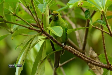 Golden-fronted Leafbird (female)