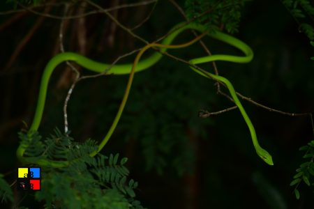 Green-vine Snake