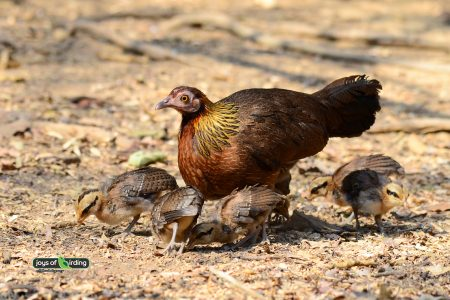 Junglefowl (female)