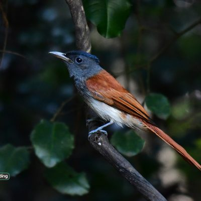 Asian Paradise Flycatcher (female)