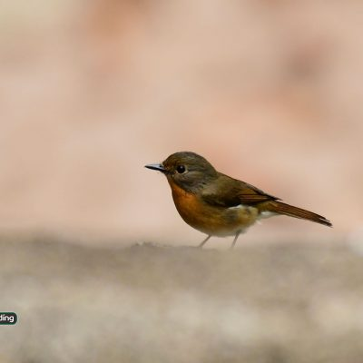 Hill-Blue Flycatcher Female