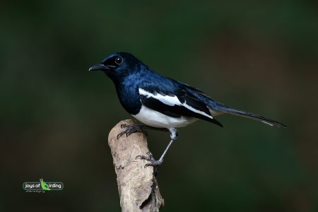 Oriental Magpie-robin (male)