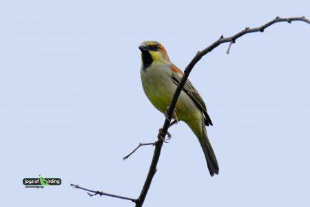 Plain-backed Sparrow (male)