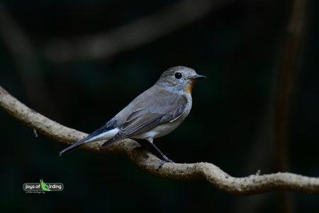 Taiga Flycatcher (male)