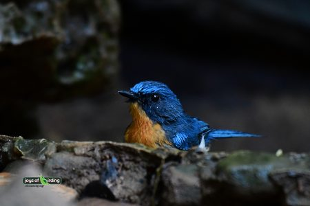 Tickell's Blue Flycatcher (male)