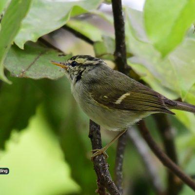 Davidson's Leaf Warbler