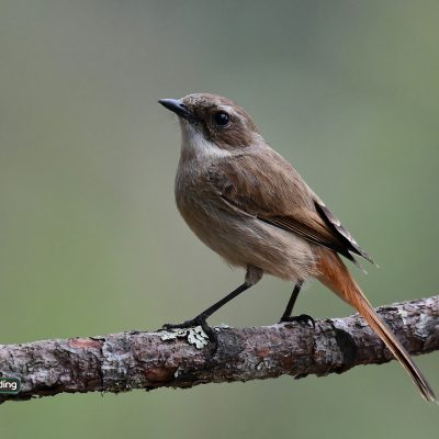 Grey Bushchat (female)