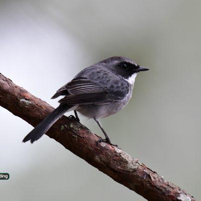 Grey Bushchat (male)