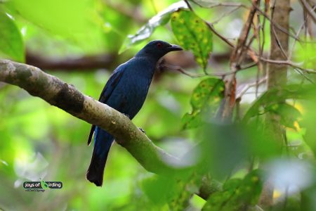 Asian Fairy-bluebird (female)