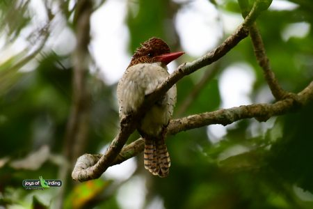 Banded Kingfisher (female)