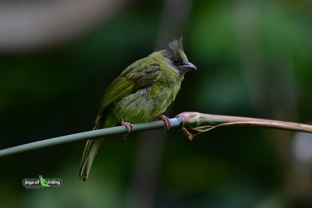Crested Finchbill (female)
