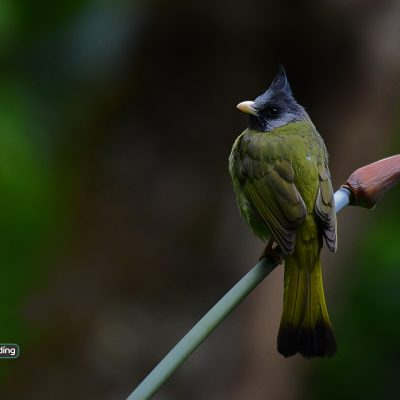 Crested Finchbill (male)