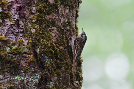 Brown-throated Treecreeper