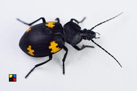 Craspedophorus Sublaevis (Ground Beetle)