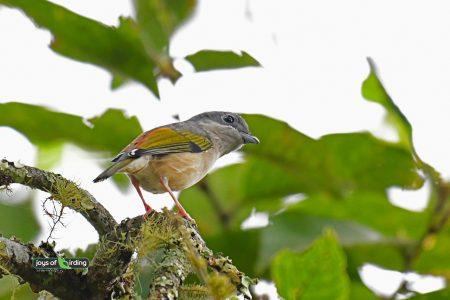 Blyth's Shrike-babbler (female)