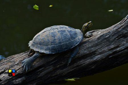 Yellow-headed Temple Turtle