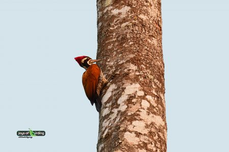 Greater Flameback (male)
