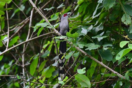 Green-billed Malkoha
