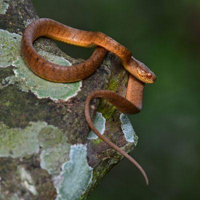 Keeled Slug Snake