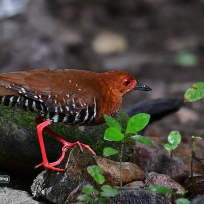 Red-legged Crake